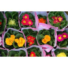 Boxed Begonias