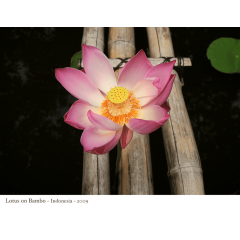 Lotus on Bamboo