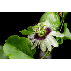 Passion Fruit Bloom